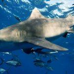 """""""Danças...com tubarões"""" - Uma experiência inesquecível, Photo Bart Bove"""