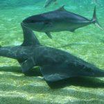 """""""Danças...com tubarões"""" - Uma experiência inesquecível"""
